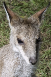 wallaby face01