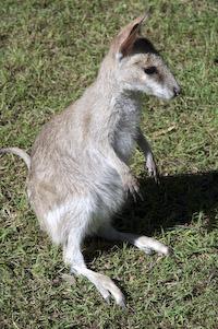 wallaby 02