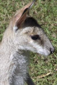 wallaby face 02