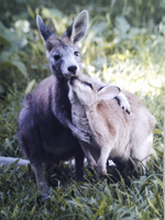Wallaroo called Liberace and Agile wallaby called Sue