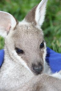 Pretty Face Wallaby face