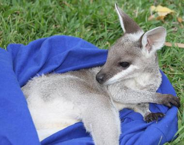 Pretty Face Wallaby side profile